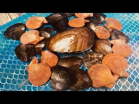 31 SOUTH SEA  OYSTERS WITH 100 REAL PEARLS.. EVER DONE ON FUN HOUSE TV