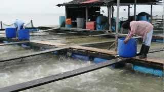 Feeding Fishes at Fish Farm