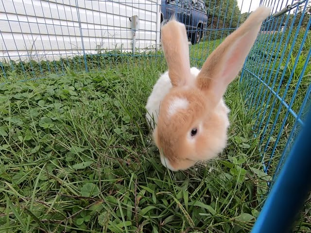 Beatrix the cute angora bunny with blue and brown eyes