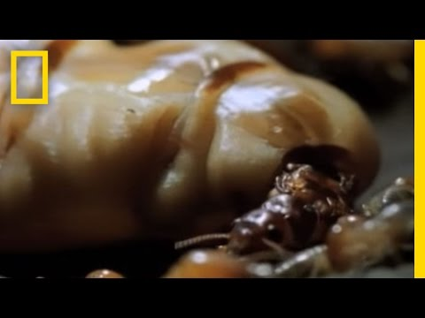 Termite Queen Lays Millions of Eggs   National Geographic