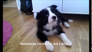 Border Collie Puppy Obedience With Zar (3 Months)