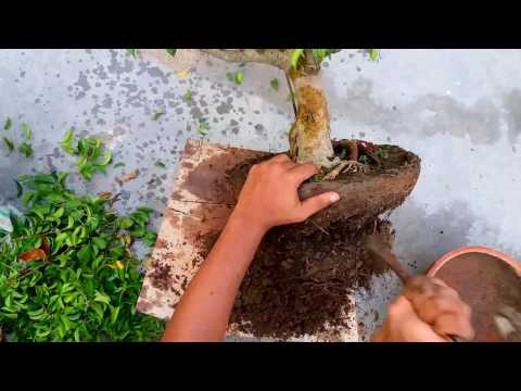 The Most Effective Method To Create A Bonsai Tree From A Nursery Ficus Benjamina.