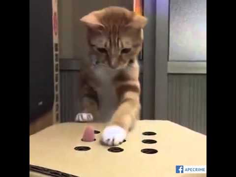 Cat Plays Guessing Game