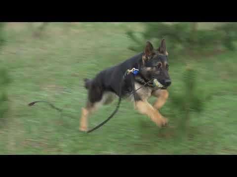 FREDY GERMAN SHEPHERD - DETECTION INSIDE AND OUTSIDE