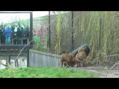 Lion Gets Head Stuck In Feeding Barrel At Zoo