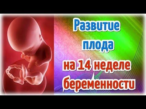 Развитие плода на 14 неделе беременности!