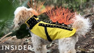 Spiky Vest Protects Dogs Against Predators