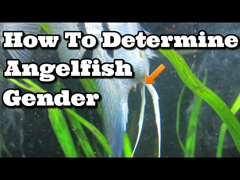 How To Tell If Your Angelfish Is Male Or Female Youtube