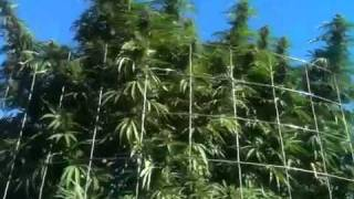 Monster Cannabis / Marijuana plants