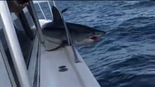 Shark jumps onto fisherman's boat