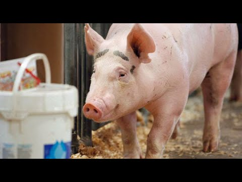 The next COVID-19? Chinese researchers warn that new virus found in pigs could be future pandemic