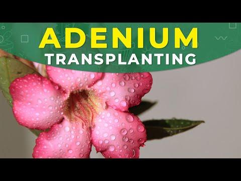 ADENIUM TRANSPLANTING &