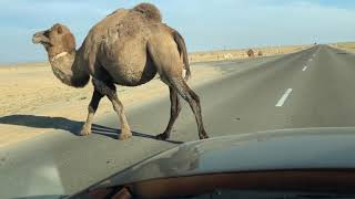 Осторожно,верблюд на дороге!!!!