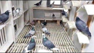 Gołębie pocztowe fabry jansen hermes prezentacia cz 3