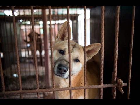 A day in the life of a dog meat dog