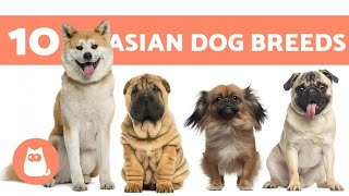 10 ASIAN DOG BREEDS 🐶🌏 Do You Know Them All?