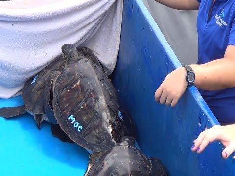 New Ocean Home for Six Hawaiian Green Sea Turtles