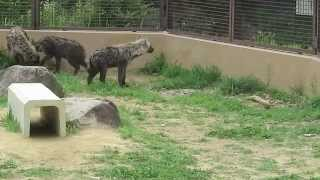 #19 June 2014 Spotted hyena at Noichi zoo, Kochi, Japan