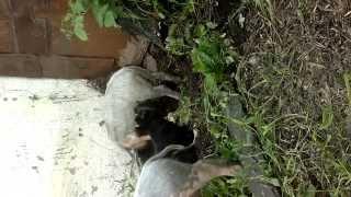 собака натягивает свиней умора