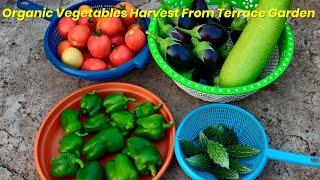 Organic vegetables harvesting …
