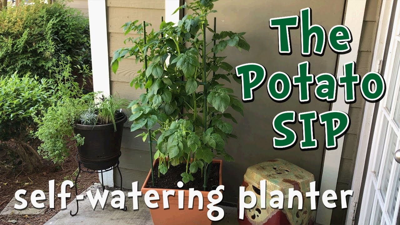Self Watering Potato Container Garden Diy Modified Sub Irrigated