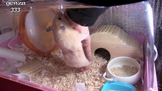new Hamster dance【2】