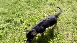 Gambar cover Fur and Paws - Purebred German Shepherds Rocky and Rage (AKC Puppies)
