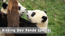 Kissing Day: Nothing Can't Be Solved By Panda's Sweet Kiss | iPanda
