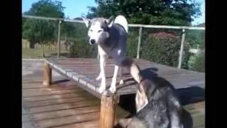 German Shepherd Wakes Up Siberian Huskies