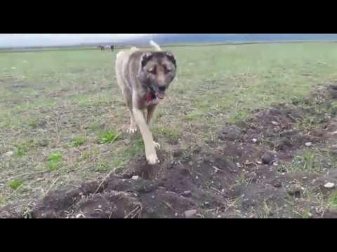 Ardahan Kıraç Köyü Kangal Çoban Köpekleri