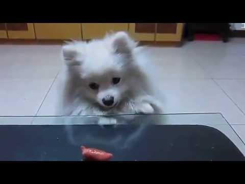 Cute Pomeranian Tries To Eat Hot Dog Youtube