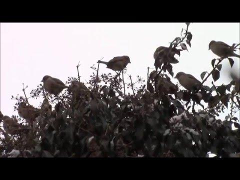 Птицы.  Воробушки.