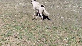 牧羊犬による羊の追い込み.