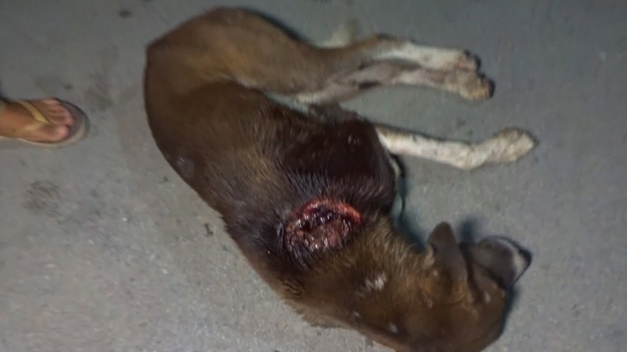 Download Dog's neck wound was growing by the hour--rescued!