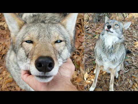 Mark - Watch as a coyote plays with their dog's toys