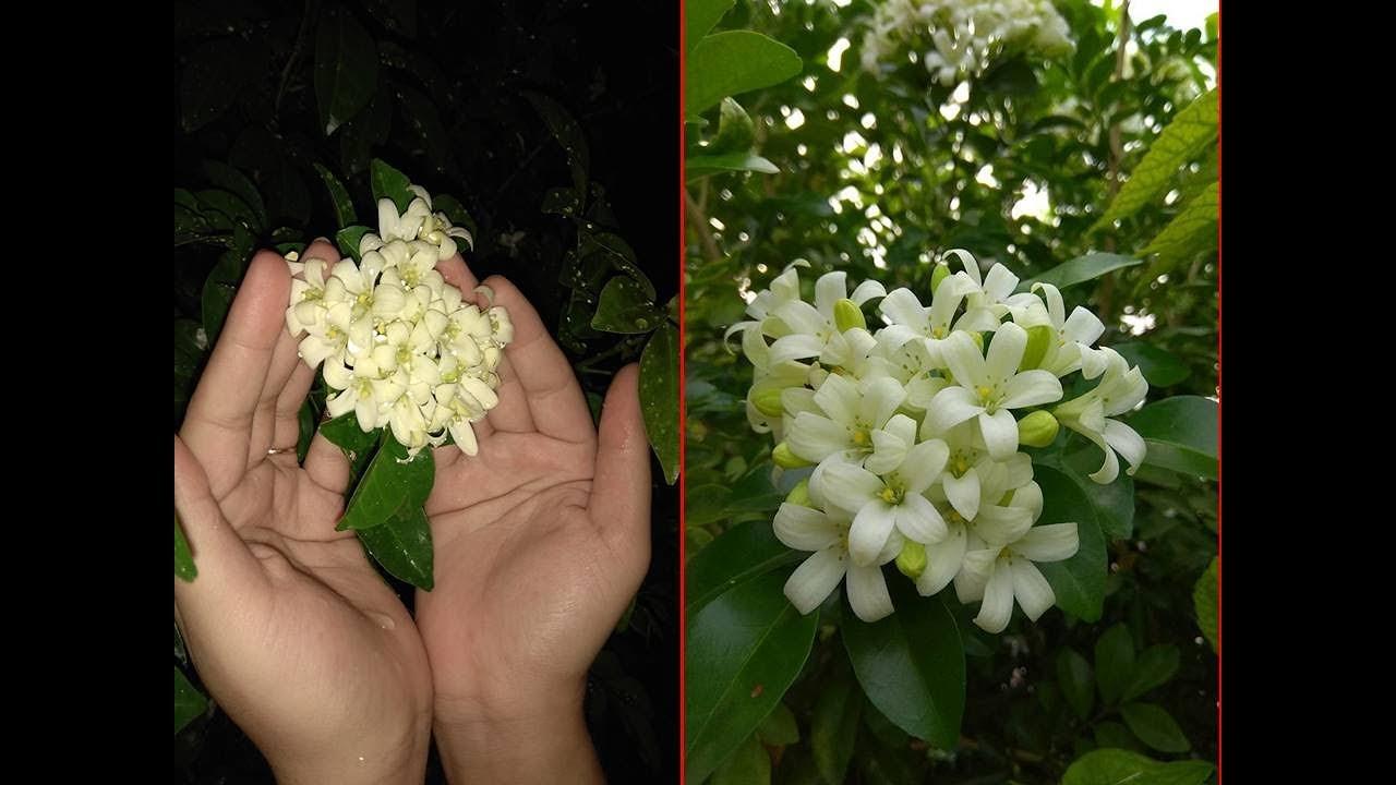 How To Grow Orange Jasmine Plant From Seeds Chinese Box Murraya
