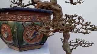 Gambar cover Siêu phẩm đẳng cấp Bonsai Ổi Dáng Thác đổ tuyệt đẹp.
