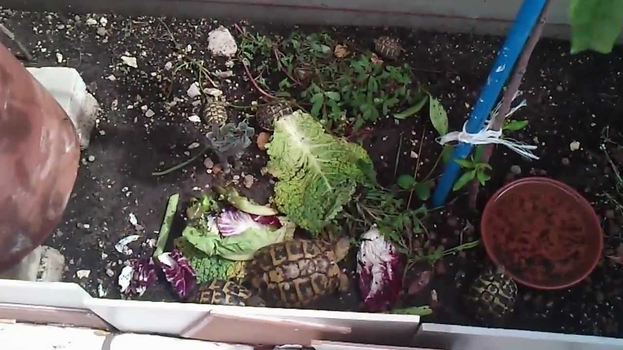 Le mie 6 tartarughe terrestri piccole medie e grandi hd for I gatti mangiano le tartarughe
