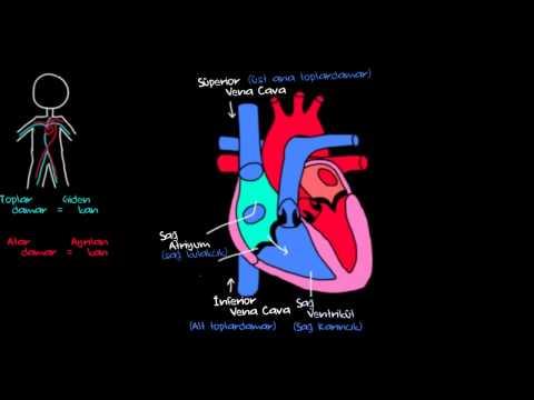 Kalp ve Kan Dolaşımı (Sağlık ve Tıp) (Dolaşım Sistemi Fizyolojisi)