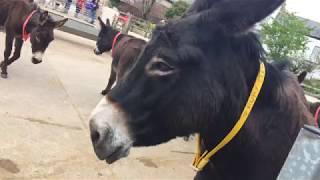 Ruby and friends Sidmouth Donkey Sanctuary Donkey Week 2018