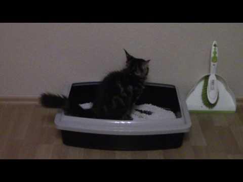 Maine coon cat using a litter box / Кіт мейн кун користується лоточком