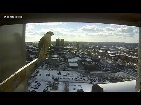 Manchester, NH Peregrine Falcon - 20180109 Dad and Mom visit