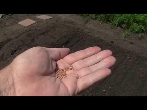Посев репы, редьки и дайкона