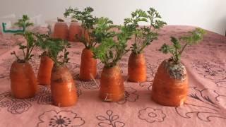 Havuçtan havuç yetiştirmek(En basit yöntem),Saksıda havuç yetiştirmek(En basit yolu)