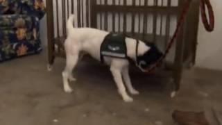 Средства от блох - собака отыскивает постельных блох!