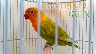 Spesies Lovebird Pastel Green (Pastel Hijau)