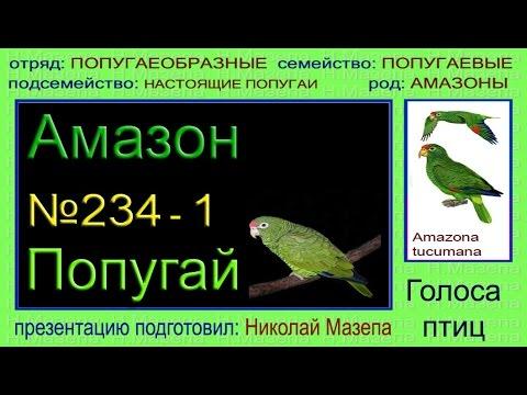 Амазон. Попугай. Голоса птиц