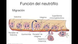 Funcion de los Neutrofilos