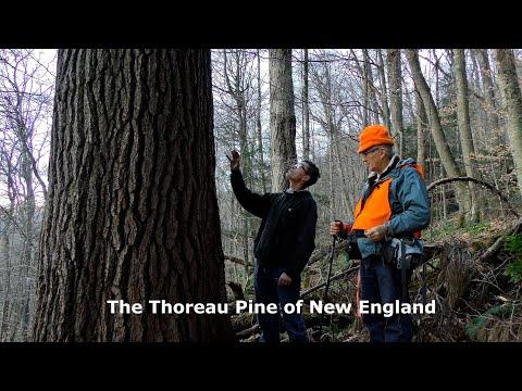 The Thoreau Pine of New England