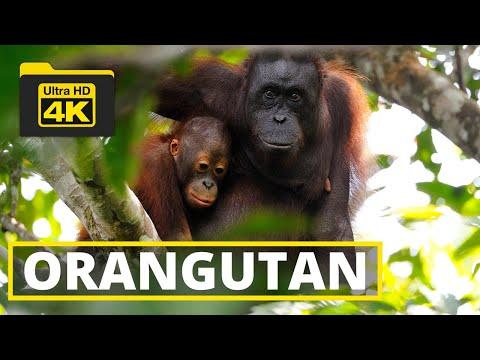 BORNEAN ORANGUTAN| MAMMALS OF BORNEO | RELAXING MUSIC | RDC | SANDAKAN | SABAH